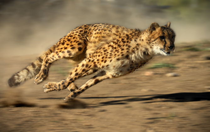 To Kill, Cheetahs Use Agility And Acceleration Not Top